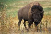 Higgs Bison