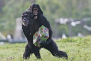Christmas Celebrated With The Chimps In Florida